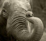 老大象 库存图片