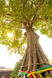 老大tree001 图库摄影