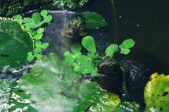 老夫妇乌龟 免版税图库摄影