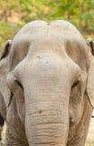 老女性亚洲大象纵向  库存照片