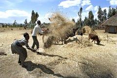 老妇人和人打谷的谷物丰收 库存图片