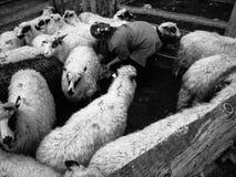 老妇人哺养的绵羊在山聚集 库存照片