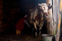 老妇人在一个木房子里挤奶一头母牛 免版税库存照片
