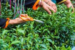 老妇人` s手在茶园收集茶叶;Chiangmai省;泰国 免版税库存照片