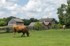 老威斯康辛奶牛场,母牛 库存图片