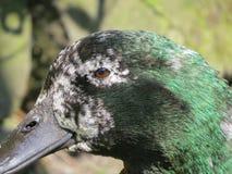 老宠物鸭子 与与年龄有关的灰色羽毛的面孔 库存图片