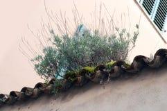 老屋顶的增长的植物 在屋顶的增长的绿色青苔 免版税库存照片