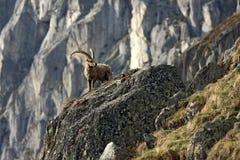 老山羊属高地山羊 免版税库存图片