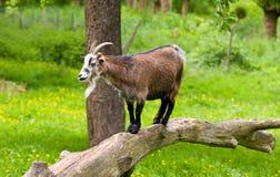 老山羊 免版税库存照片