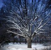 老巨大的橡木在冬天公园在微明下 免版税图库摄影