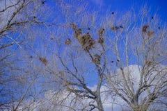 老干燥古老强有力的橡木和乌鸦巢 库存图片