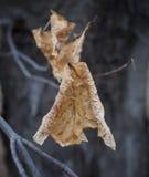 老干燥枫叶 免版税库存图片