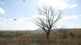 老干燥树在没有叶子干草自然风景的秋天 影视素材