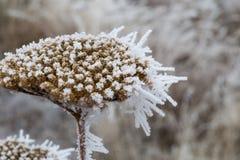 老干燥黄色欧蓍草和树冰唯一词根  免版税库存图片