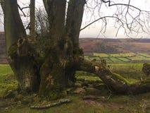 老弯曲的树 免版税库存图片