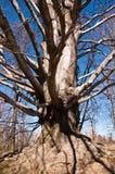 老强大山毛榉在公园 免版税库存照片