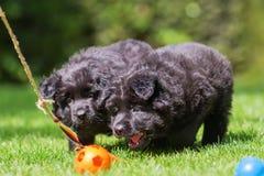 老德国牧羊犬小狗使用与调情的人工具 库存照片