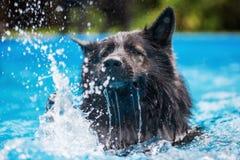 老德国牧羊犬狗在游泳池游泳 库存照片