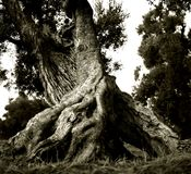 老打破的,但是产果的橄榄在意大利普利亚 库存照片
