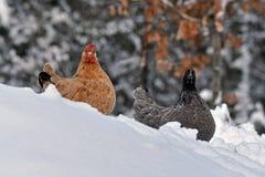 老抗性品种Hedemora母鸡从瑞典的在冷漠的风景的雪的 图库摄影