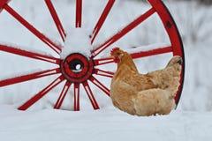老抗性品种Hedemora母鸡从瑞典的 免版税库存图片