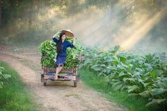 老挝人妇女在烟草叶子领域种田 放松在tob 库存图片