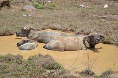 老挝水牛在水中 库存照片