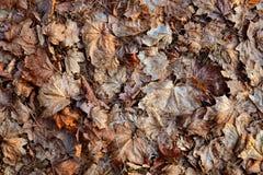 老损坏的干燥槭树叶子 免版税库存照片