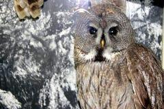 老明智的猫头鹰在冬天森林里 免版税库存图片