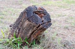 老木树桩在森林里 免版税库存图片