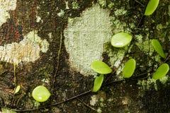 老木树皮 库存图片