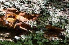 老木树纹理背景 免版税库存照片