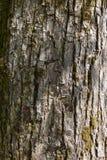 老木树 免版税库存照片