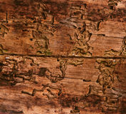 老木纹理,由树皮甲虫的年迈的背景 图库摄影
