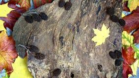 老木背景和棕色锥体 免版税库存图片