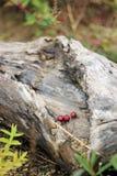 老木头用花揪 免版税库存照片
