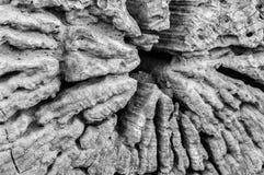 老木头的横断面黑白照片  免版税库存图片