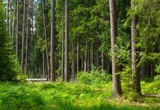 老杉木和云杉的树在夏天 免版税库存图片