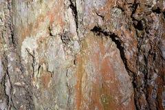 老杉木的吠声的细节的纹理,结构的灰色棕色背景 库存照片