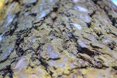老杉木的吠声的细节的纹理,结构的灰色棕色背景 库存图片