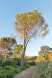 老杉树在一个规则式园林里在开普敦 图库摄影