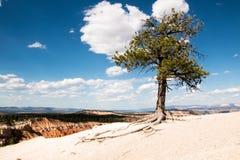 老杉树在布莱斯峡谷国家公园犹他 免版税库存照片