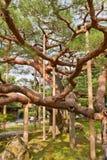 老杉树在今池,日本Kenrokuen庭院里  库存照片