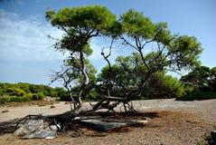 老杉树 库存图片