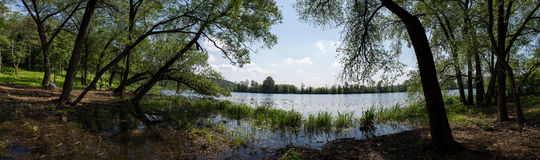 老杨柳倾斜了在河的泥泞的河岸 阿尔汉格尔斯克州村庄  俄国 免版税图库摄影