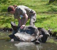 老板帮助乌龟 库存照片