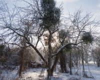 老果树园,用雪盖的树 库存图片