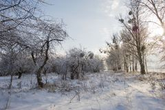 老果树园,用雪盖的树 免版税库存图片