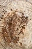 老柚木树木头树桩 免版税库存照片