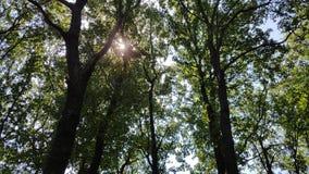 老树保加利亚 库存图片